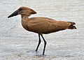 Hamerkop standing in a stream in Zambia, Thumbnail for version as of 15:27, 25 November 2012
